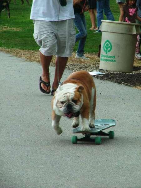 Tyson the Skateboarding Bulldog