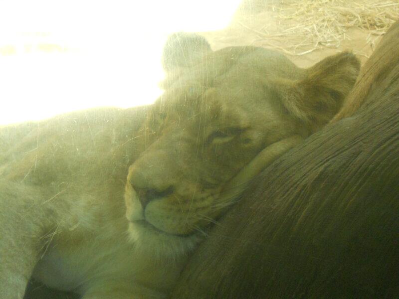 Just Lion Around!