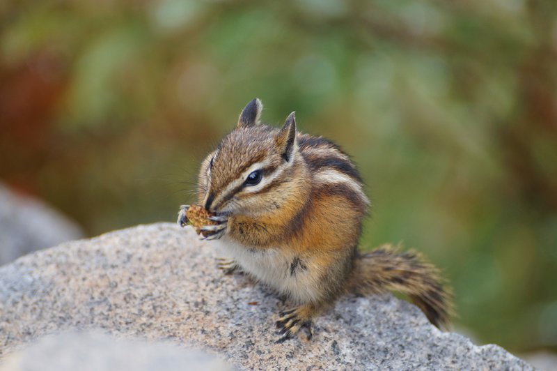 Eating Chipmunk