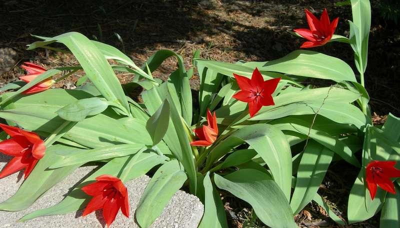 Tulips 4-23-08