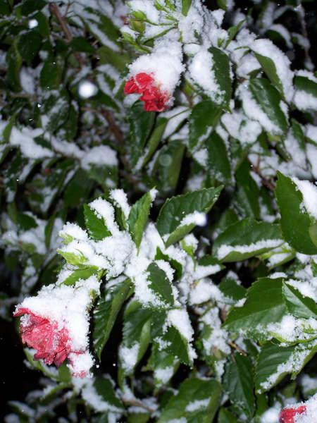 snow covered hibiscus