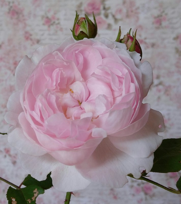 Heritage English rose, with Stamperia paper behind