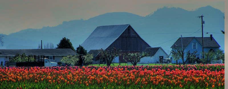Mt. Vernon Tulips