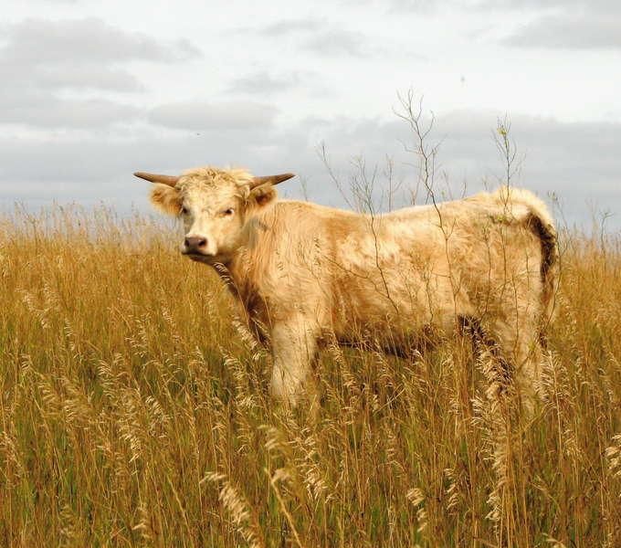 Scotty-our Scottish Highlander steer