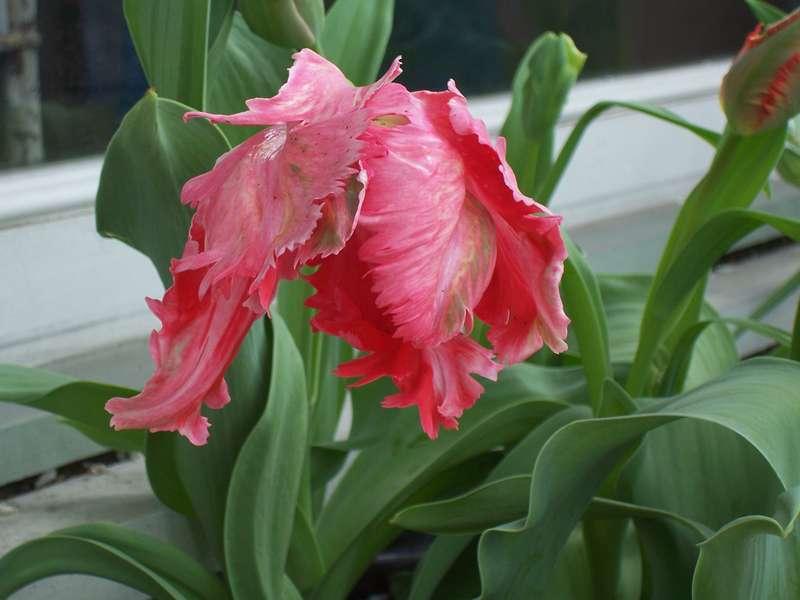 Parrot Tulip Photo