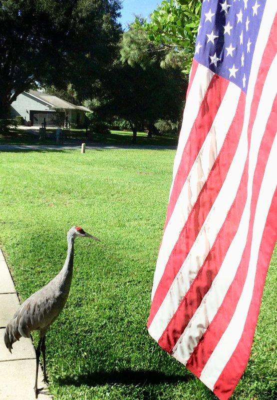 Sandhill Crane Honoring Our Flag