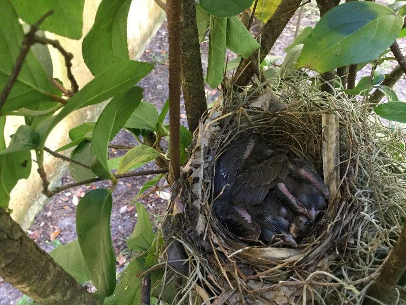 UPDATED:: Three Baby Cardinals Born Near Home