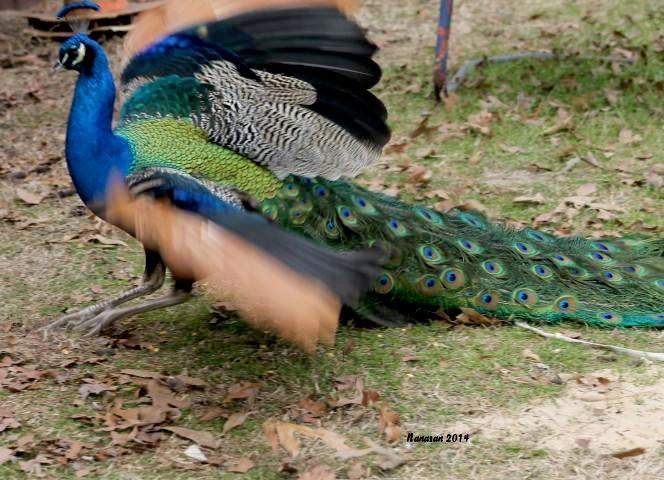 January Photo Fun - POD #6 Peacock