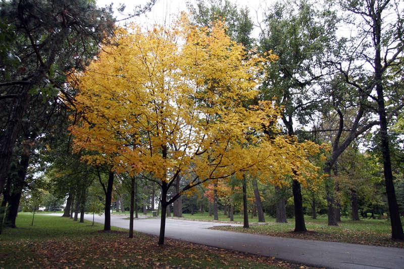 Golden Tree1