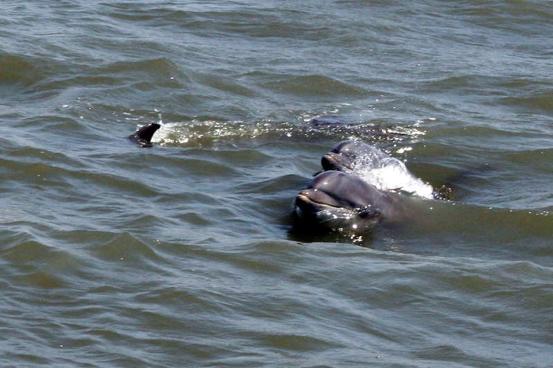 Dolphins palying in the ocean