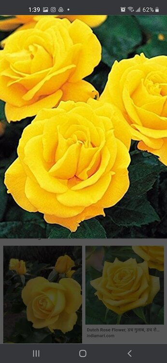 The Yellow Tea Rose, the official flower of Sigma Gamma Rho Sorority Inc