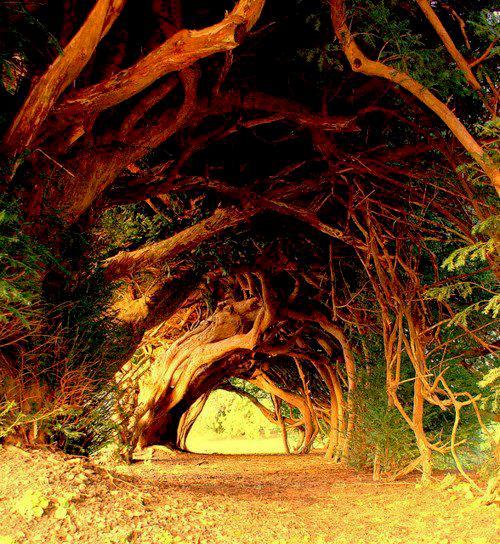 1000 year old yew tree UK