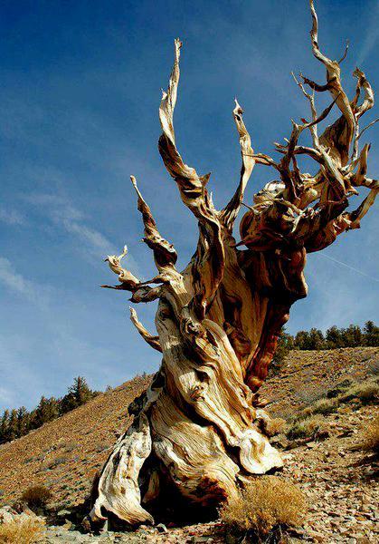 4,765 year old Methuselah tree