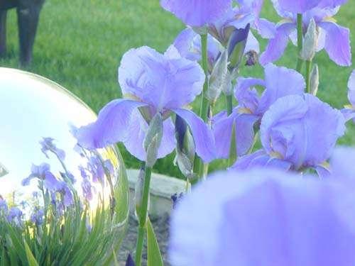 Iris's & reflection