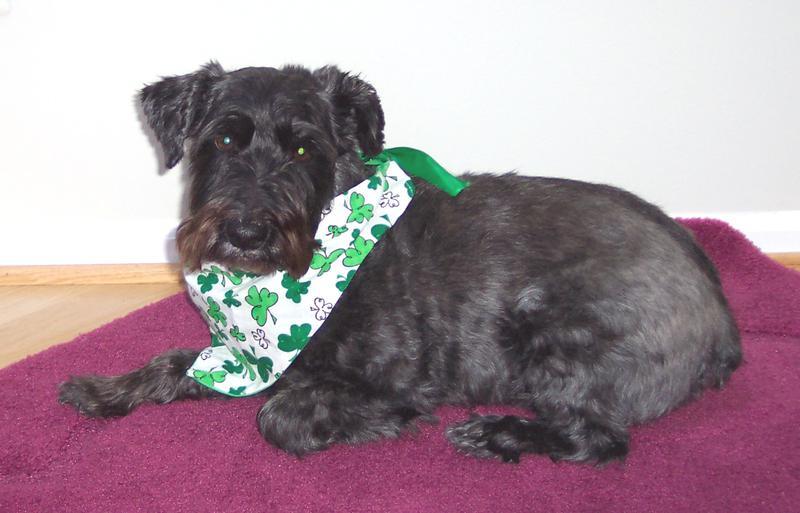St. Patrick's Day Schnoodle