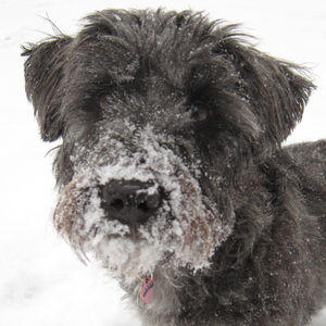 schnoodle snow face