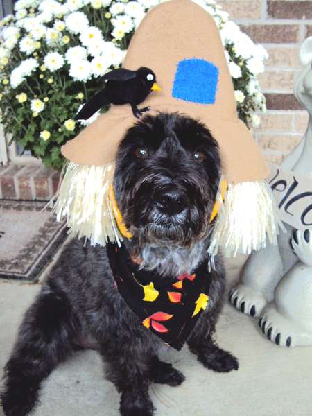 scarecrow schnoodle