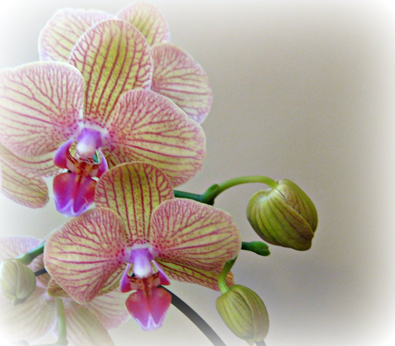 orchid striped