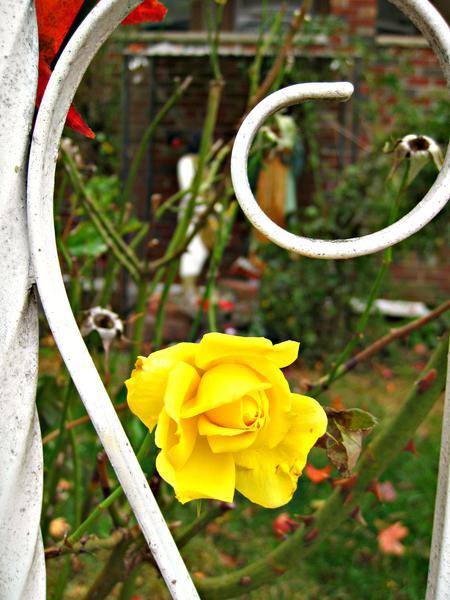 POD 3 - Yellow Rose