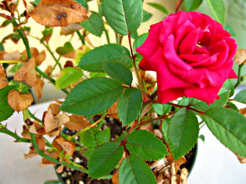 Mini 'L' ~ lovely rose