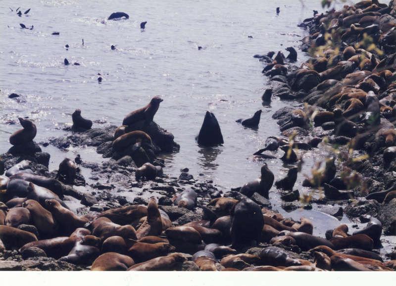 sea lions gather in monterey, ca