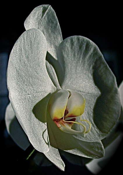 A Magnificent Regal Orchid
