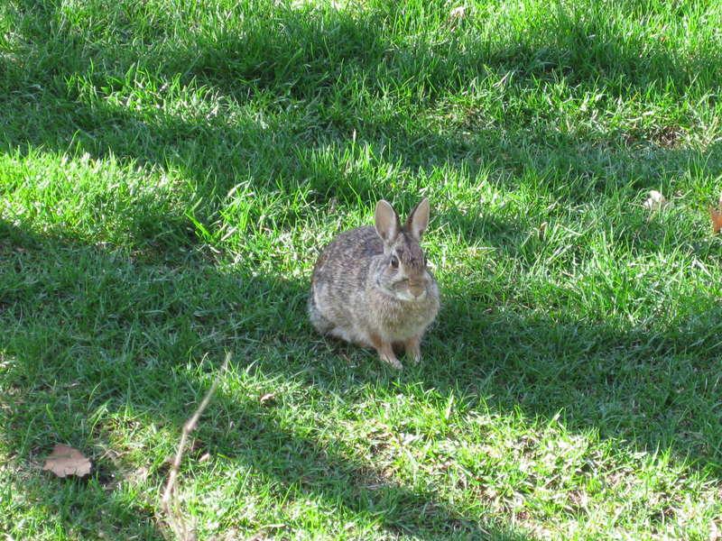 wild rabbit at our backyard lol..