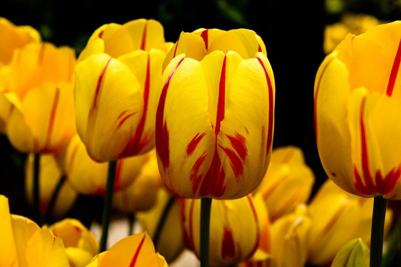 Tulips in Yellow
