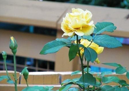 POD - Bloom Yellow Rose of Texas