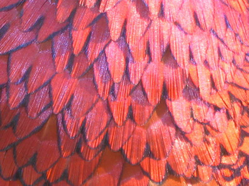 Pheasent chest feathers
