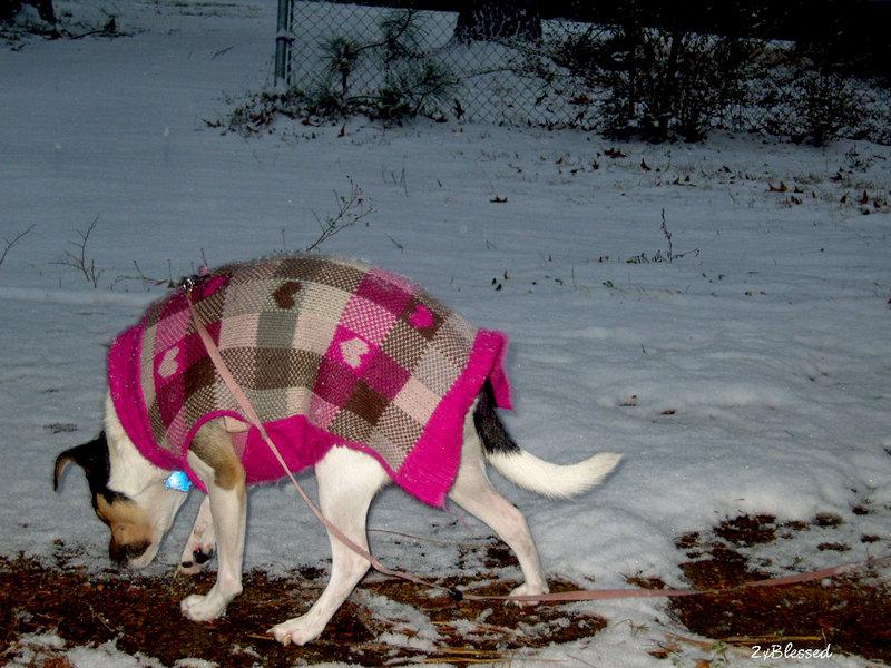 Jan. 2014 POD #8 Daisy finding ice to eat