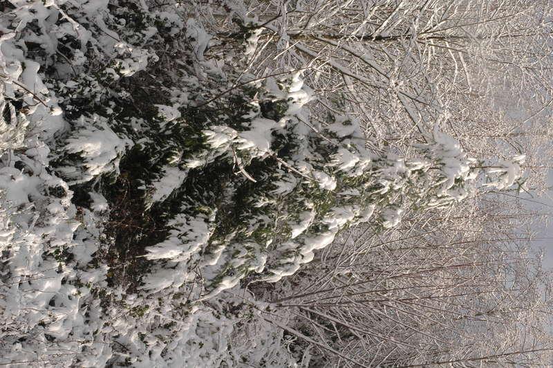 Snow Laden Tree