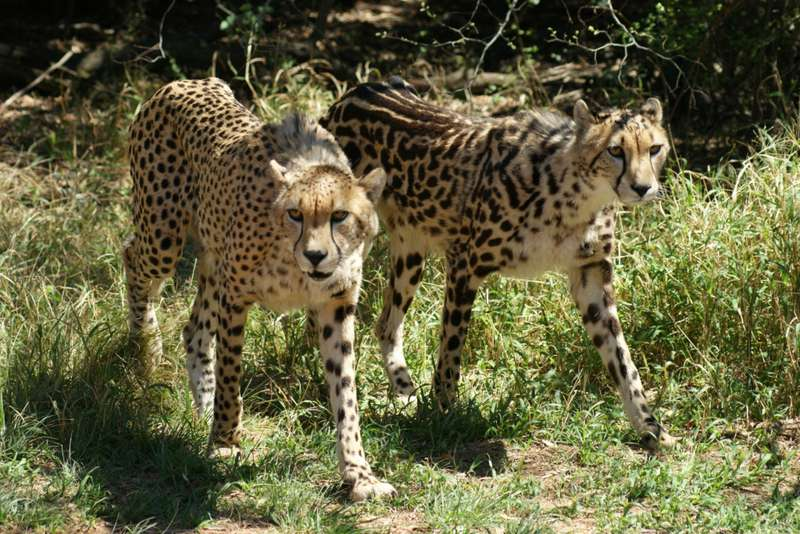 Cheetahs - Spotted & Semi Striped