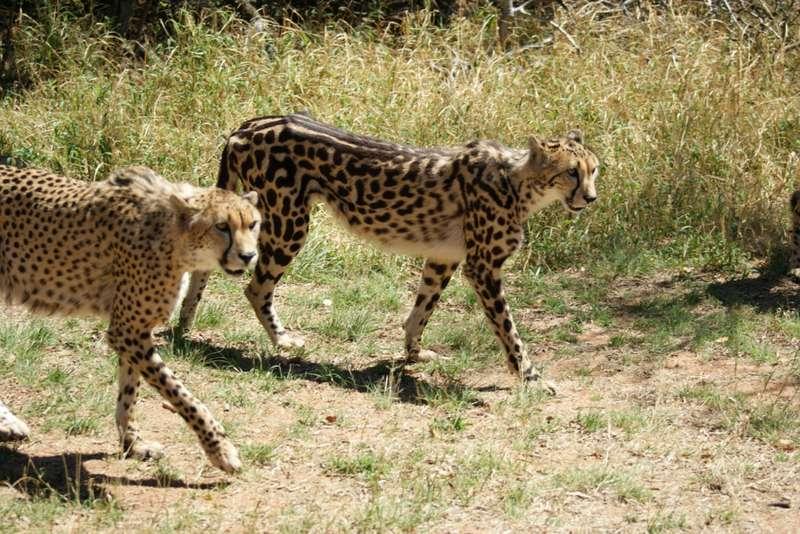 Cheetahs - Spotted & Semi Striped