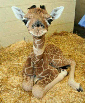 Day-Old Giraffe