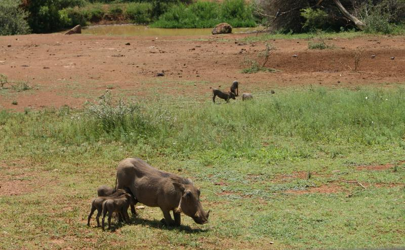Nursing Warthog - Pilanesberg