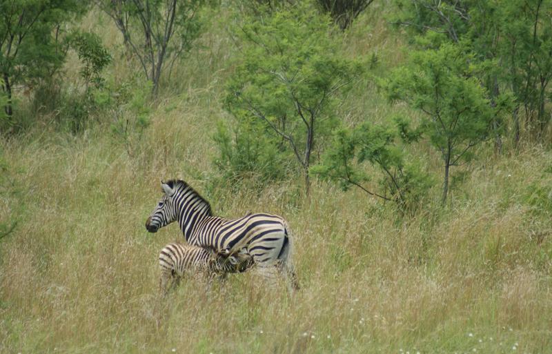 Nursing Zebra - Pilanesberg