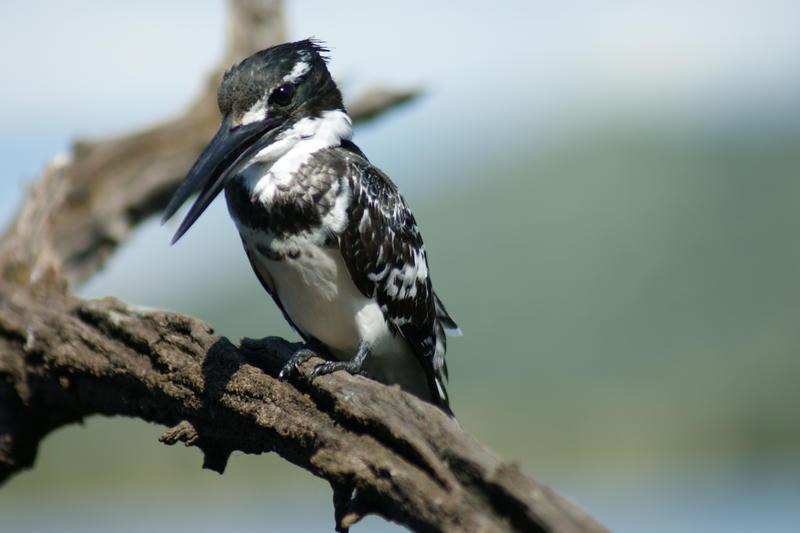 Pied Kingfisher - Pilanesberg