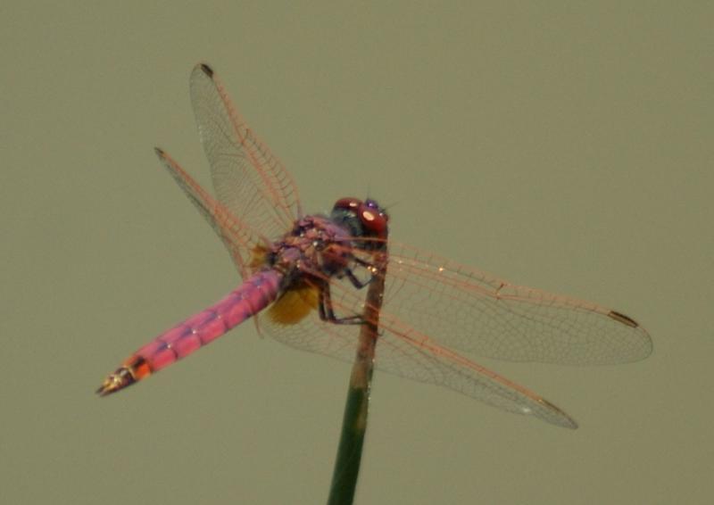 Pink Dragonfly - Pilanesberg