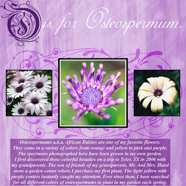 O is for Osteospermum.