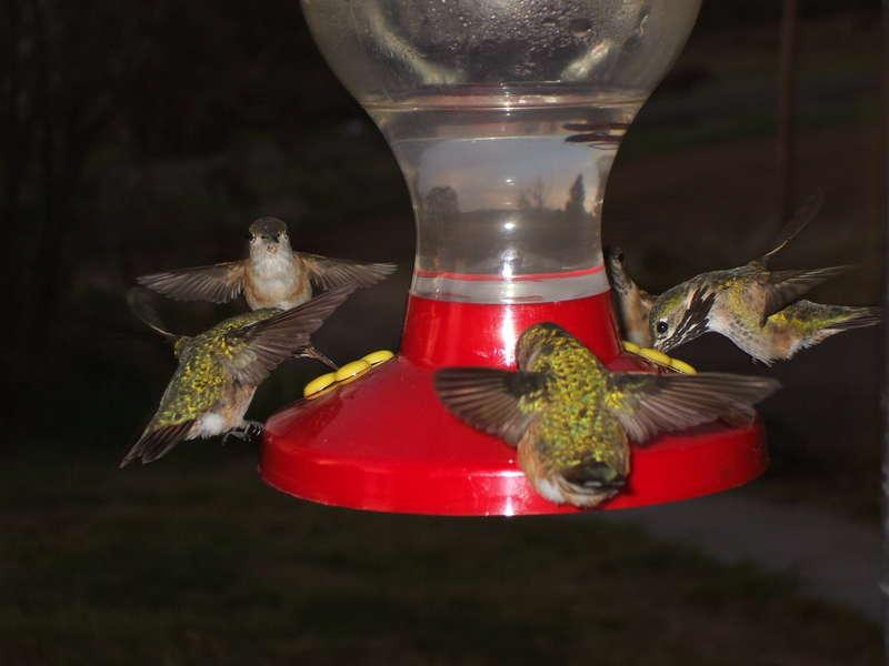 [7]  5 Hummingbirds