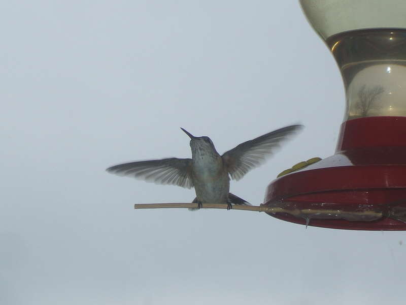 [15] JFF...[POD]...5-3-09...Hummingbird