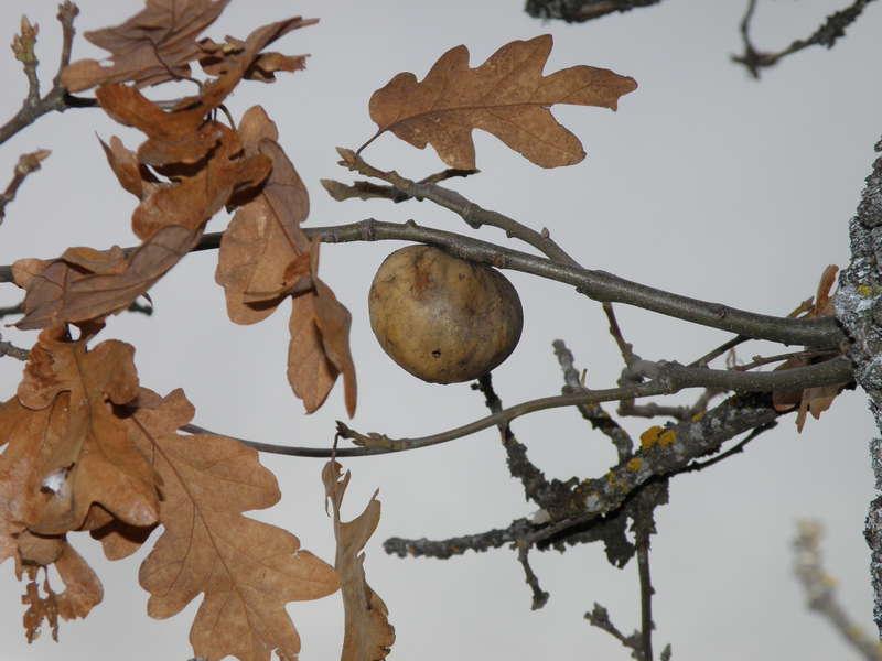 POD...JAN #3/15...Oak tree gall