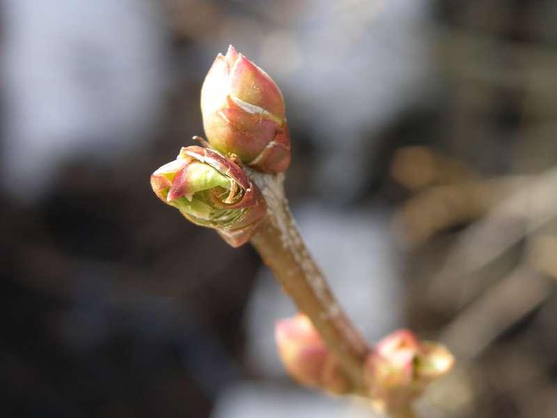 POD...JAN #4/15...Lilac buds