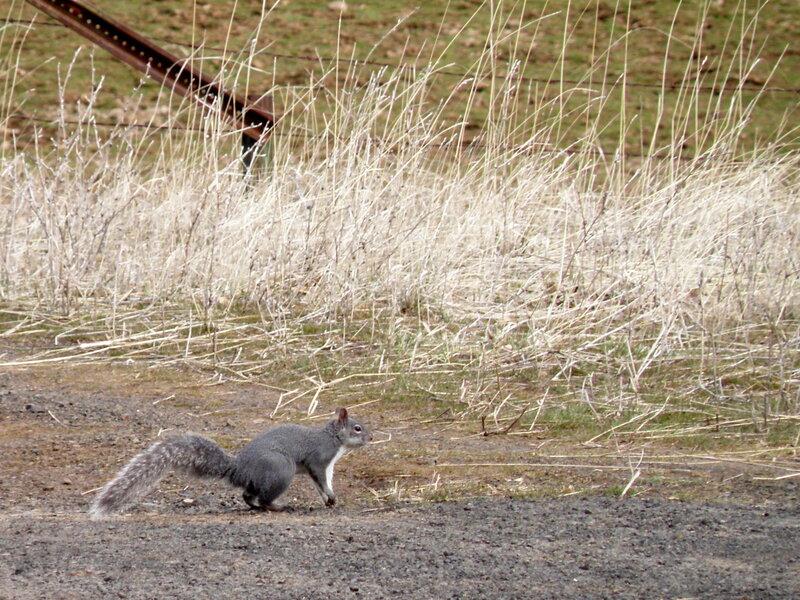 MAR 2021 #6 Western Gray Squirrel