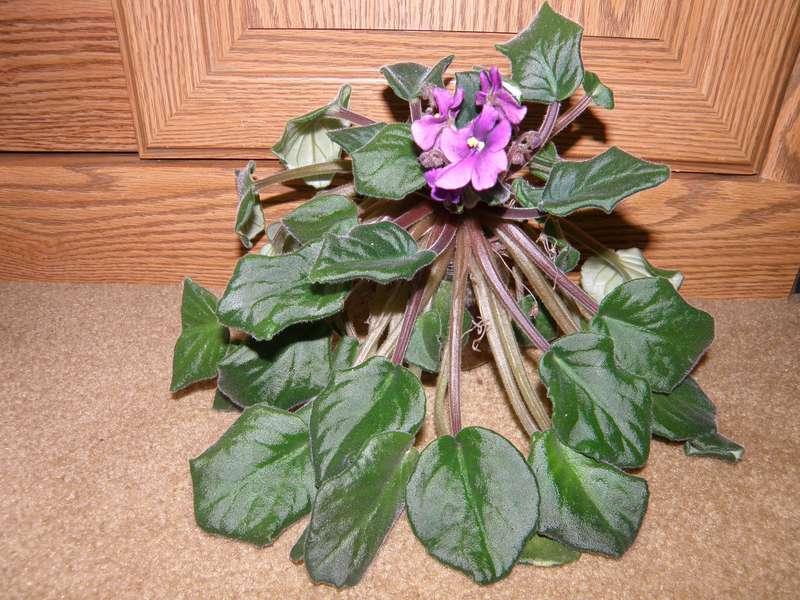 MINI MAR...10 Copycat...African Violet