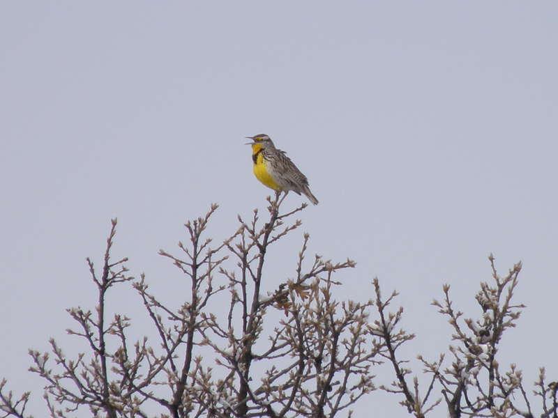 POD...MAR 11/15...Meadowlark