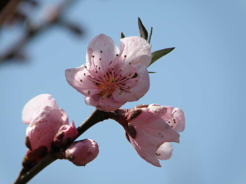 MINI MAR...POD...19 Development...Peach blossoms