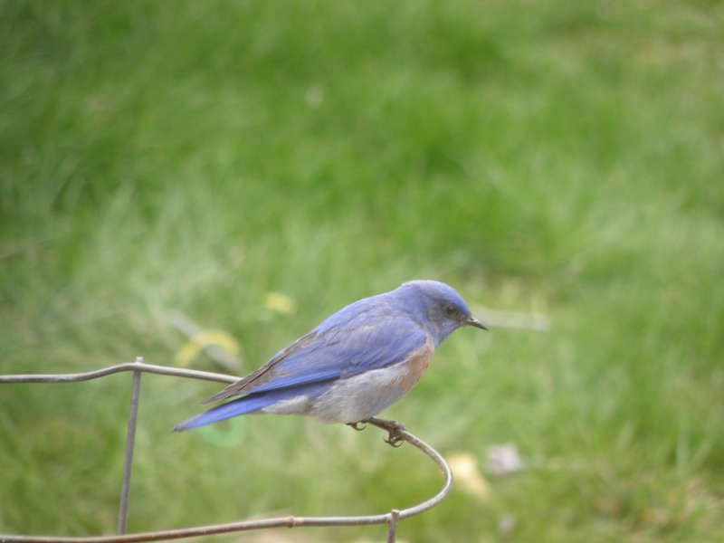 Western Bluebird~male