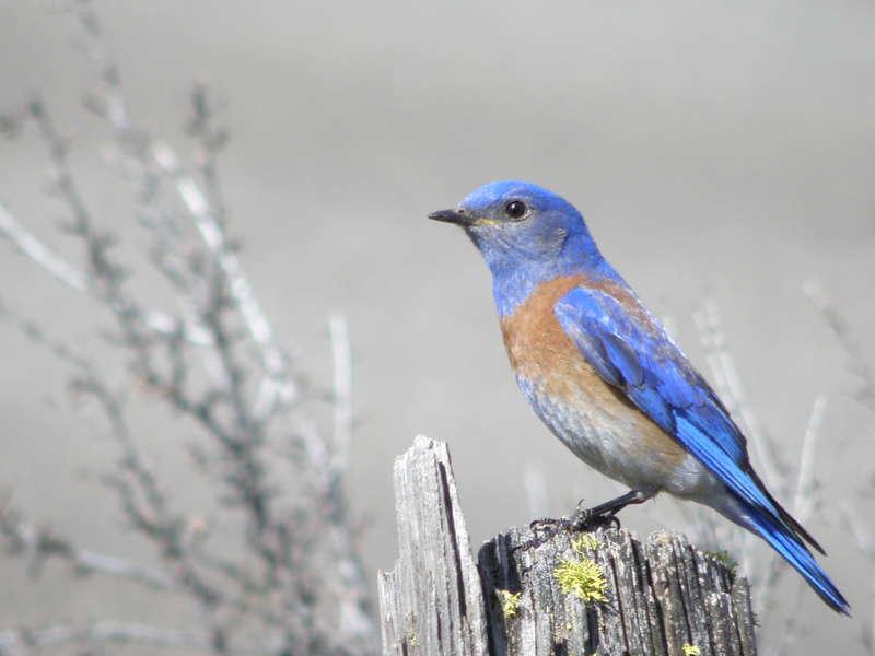 POD...APR #10/15...Western Bluebird/male